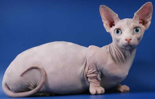 bambino female ... Kittens For Sale