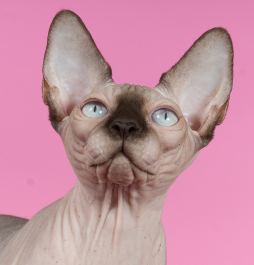 sphynx male baby rah cattery