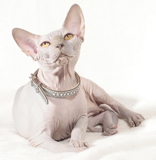 sphynx male baby rah dupont cattery elf bambino sphynx baby rah