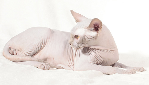 sphynx male baby rah dupont elf bambino sphynx cattery baby rah