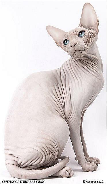 sphynx cattery Baby-Rah ::