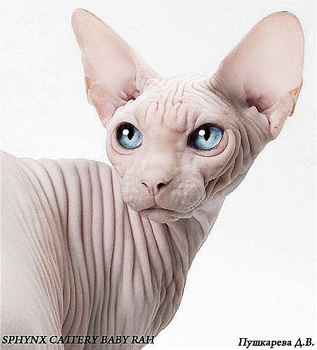 sphynx_cat_dallas8.jpg