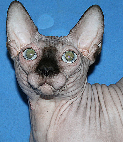 sphynx cattery