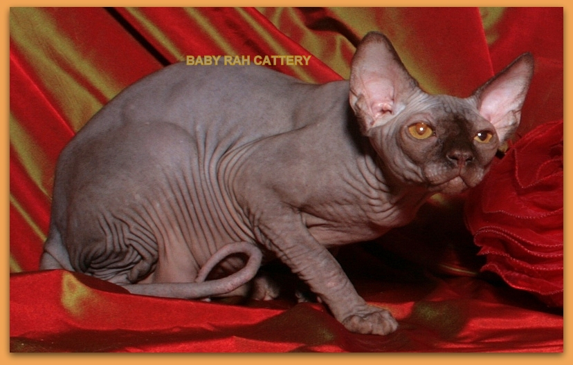 sphynx cat male chocolate color cattery baby rah