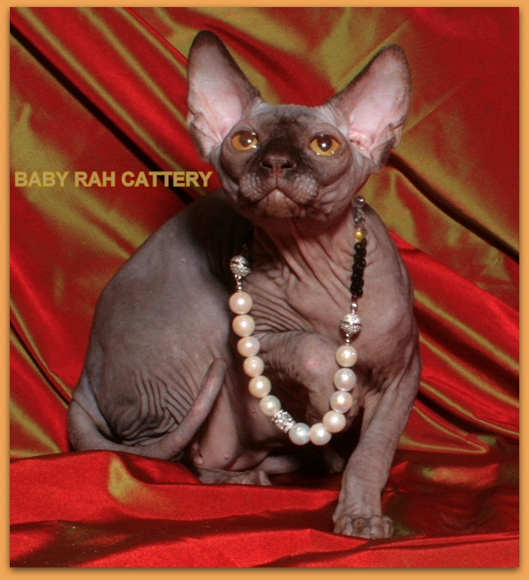 sphynx male cattery baby rah chocolate color