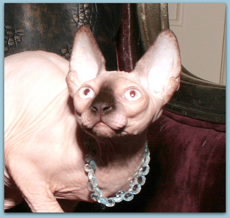 sphynx cattery Baby-Rah :: Kittens for sale