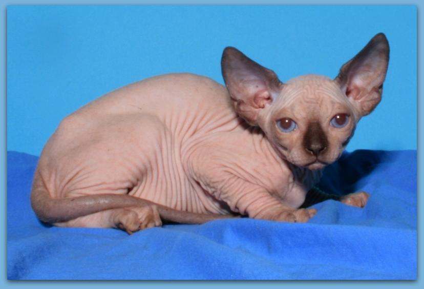 sphynx cattery Baby-Rah :: Kittens for sale