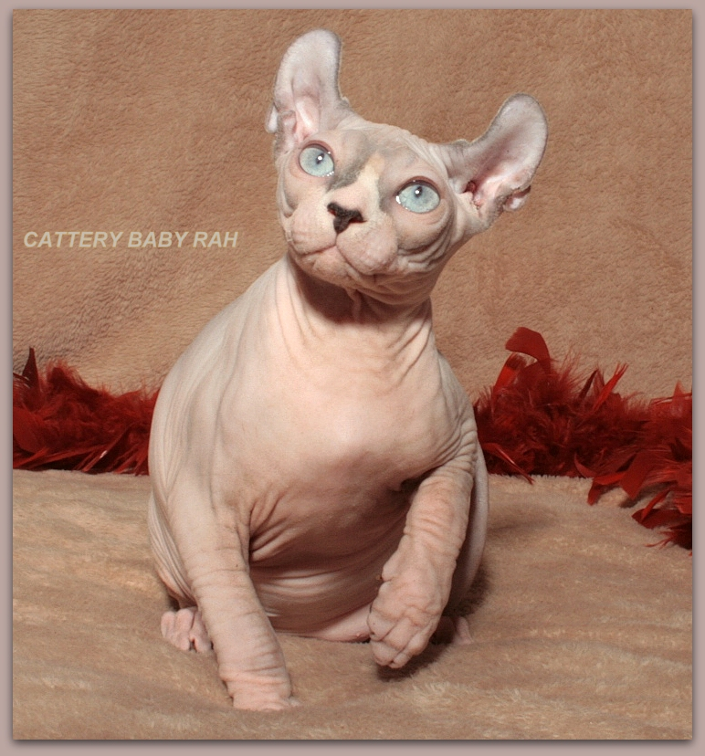 elf male baby rah cattery