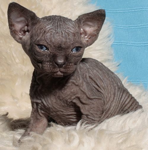 Good Names For Sphynx Cats