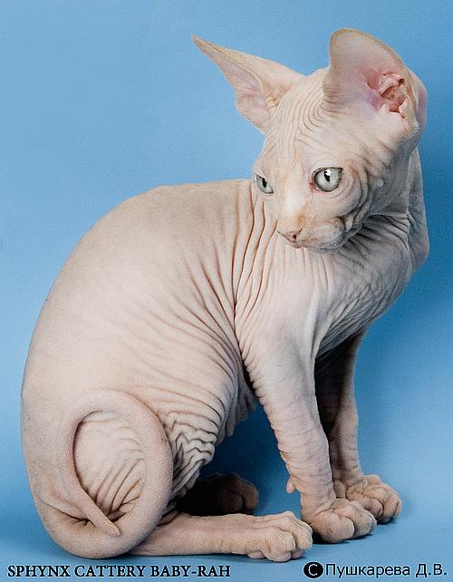 sphynx kitten Baby-Rah Xsara